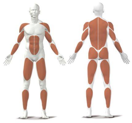Rudergerät Muskeln